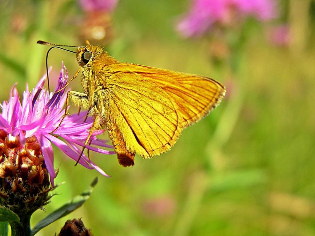 Leptir na Različku